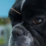 Acupuntura em cães funciona? Conheça as indicações e benefícios