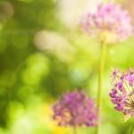 Floral Allium — a essência que traz calma e afasta o mau olhado