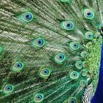 A simbologia espiritual do pavão