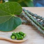 Conheça 10 razões para usar Guduchi, a erva da imortalidade