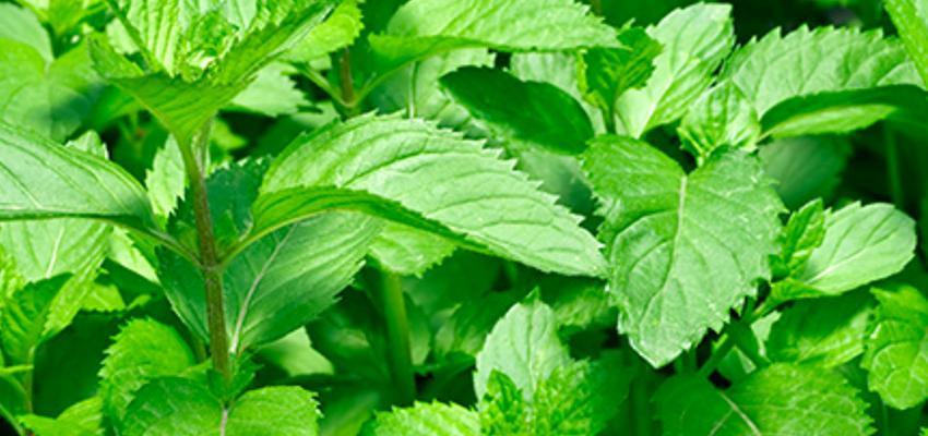 10 ervas poderosas para atrair bons fluidos