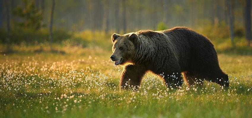Sonhar com urso: o que diz o mensageiro do mundo espiritual?
