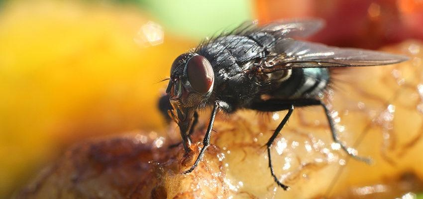 Uma mosca pousa na sua comida: o que você faz?