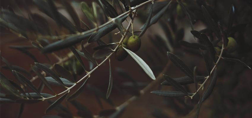 Conheça a importância da Oliveira – a árvore sagrada do Mediterrâneo