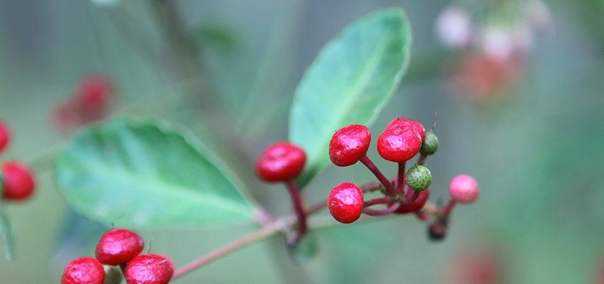 Ashwagandha: 12 benefícios do ginseng indiano para a sua vida