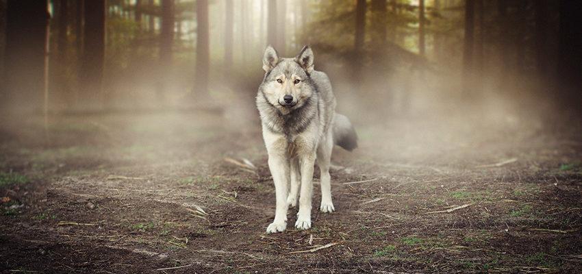 Sonhar com lobo — conheça os simbolismos do místico animal
