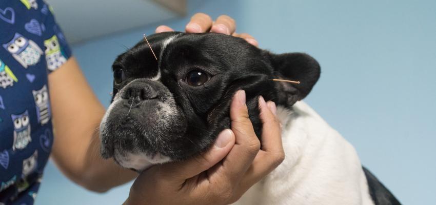 Acupuntura veterinária para curar o corpo e a mente do seu pet