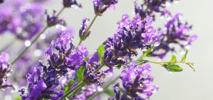 Os 5 principais benefícios da Alfazema