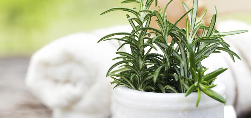 Alecrim para banho: aprenda um banho de alecrim para viver sem pressas