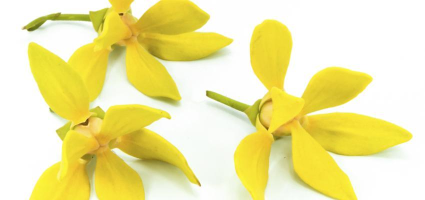 Ylang-ylang: conheça este abrangente óleo essencial da aromaterapia