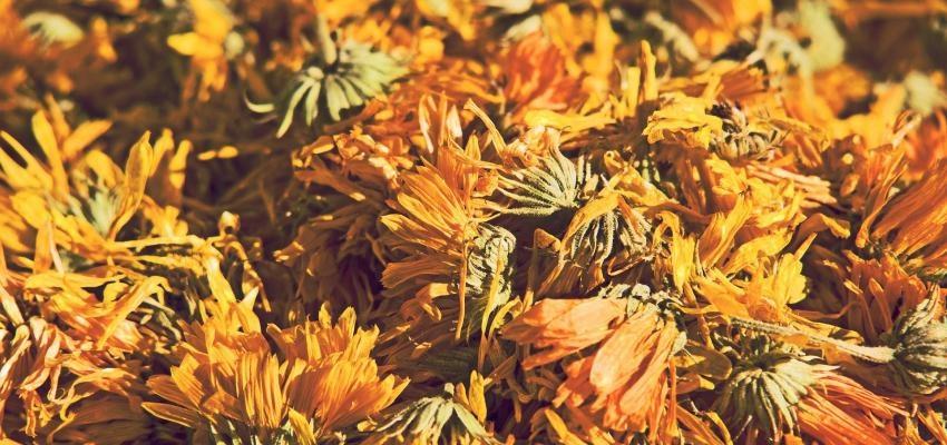 Chá dente-de-leão: o chá que purifica a pele e ajuda no emagrecimento