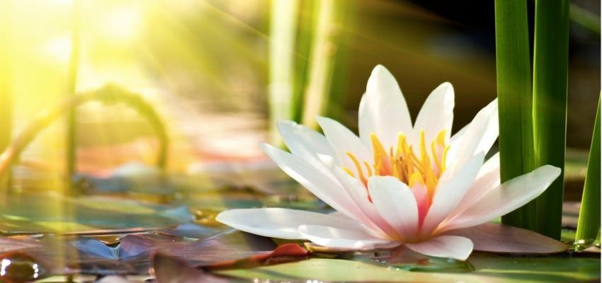 A Flor de Lótus e a Espiritualidade