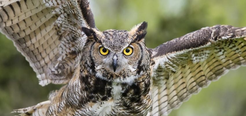 Corujas e o seu misticismo: por que as corujas nos intrigam?