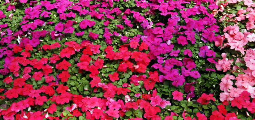 Impatiens: o floral dos ansiosos e impacientes