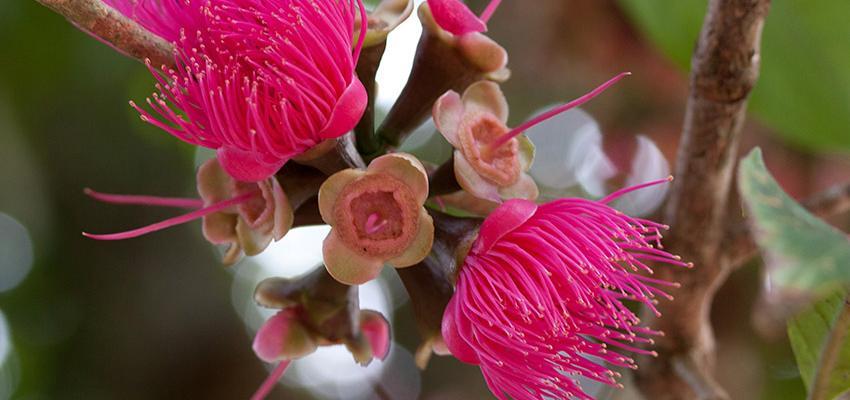 Jambo, uma fruta sagrada gerada pela Árvore da Vida