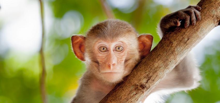 Conheça os diversos significados de sonhar com macaco