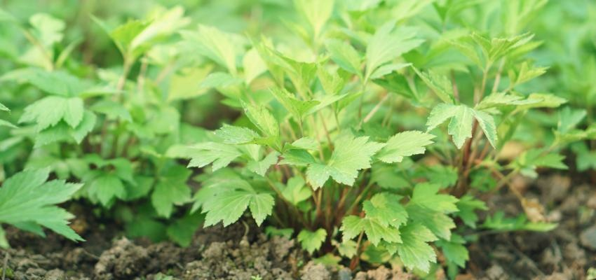 Artemísia: conheça a planta mágica