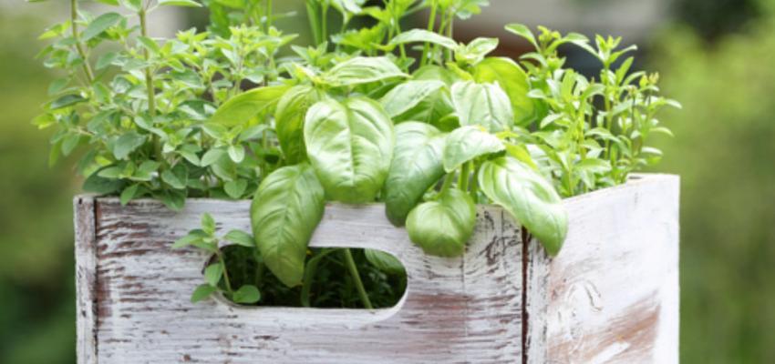Manjericão – como plantar e cultivar em casa