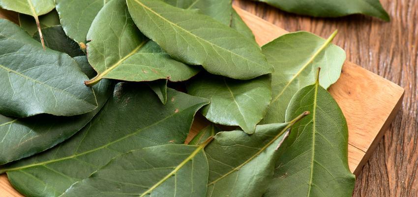 Queimar folha de louro – qual o efeito terapêutico?