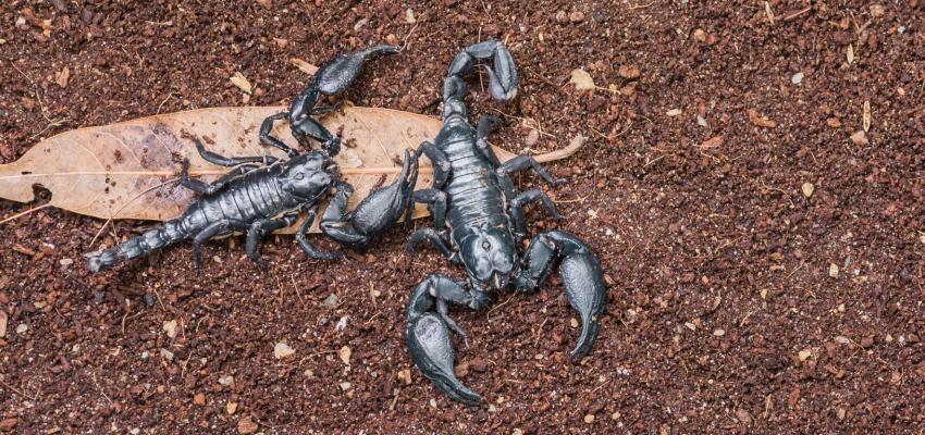 Descubra o que significa sonhar com escorpião
