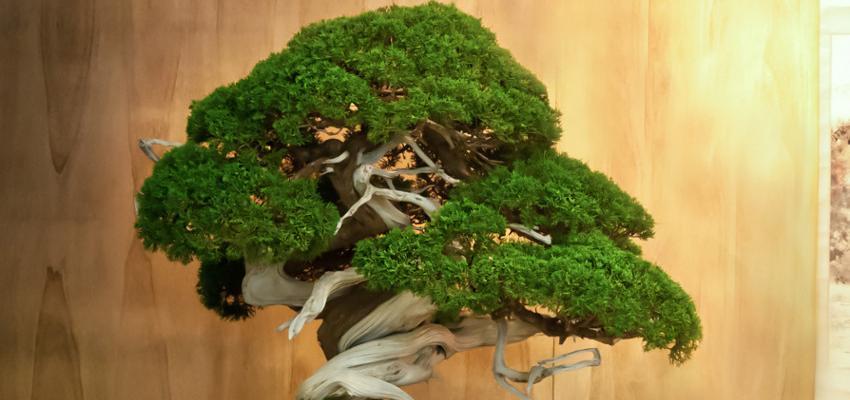 Significado do bonsai e o que significa receber um