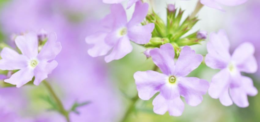 Como cuidar e cultivar verbena