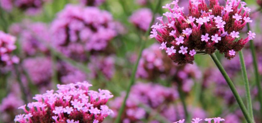Aromaterapia com óleo essencial de verbena