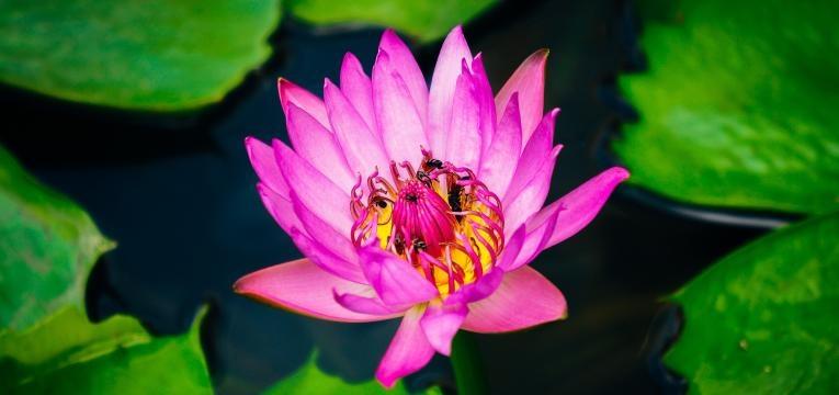 flor-lotus