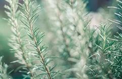 Plantas que trazem sorte e dinheiro: Alecrim