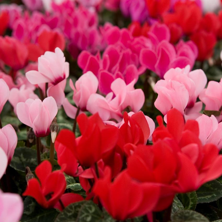 Horoscope des fleurs VERSEAU