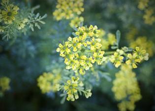 Plantas que trazem sorte e dinheiro: Arruda