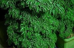Plantas que trazem sorte e dinheiro: Árvore da felicidade