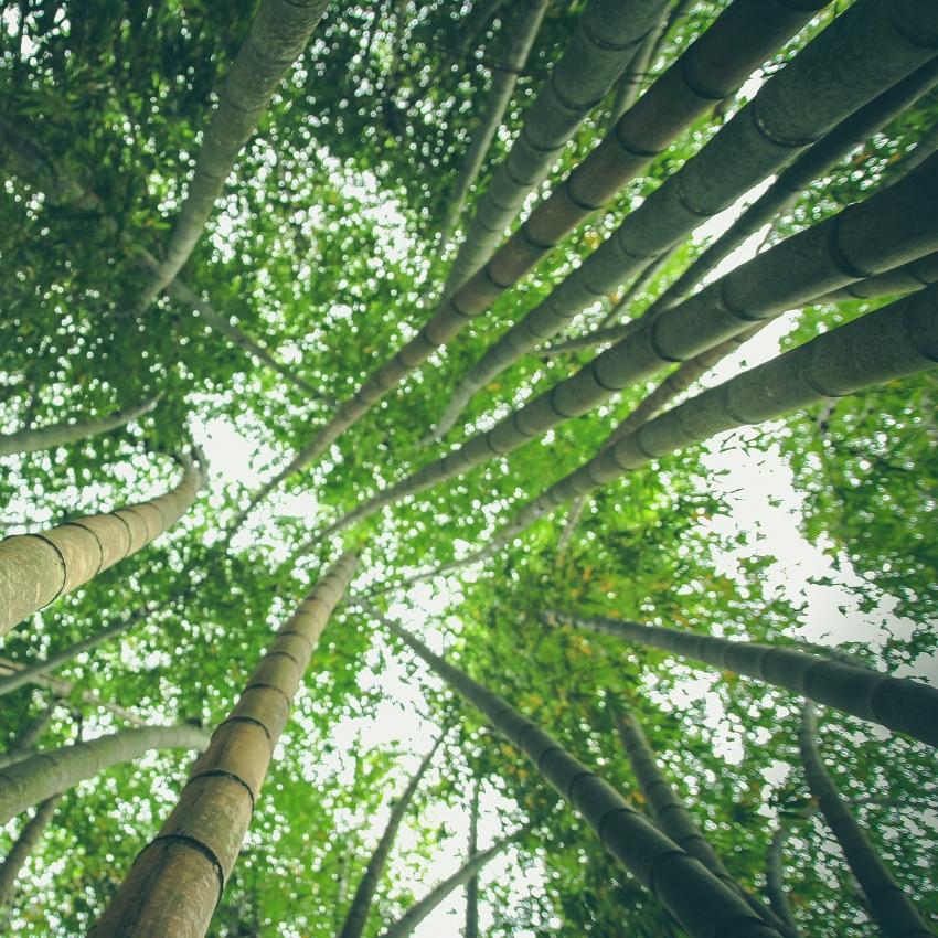 horóscopo das árvores Bambu (1º a 10 de abril e 4 a 13 de outubro)