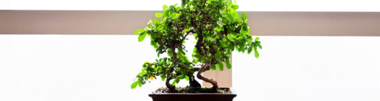 Bonsai_Origens