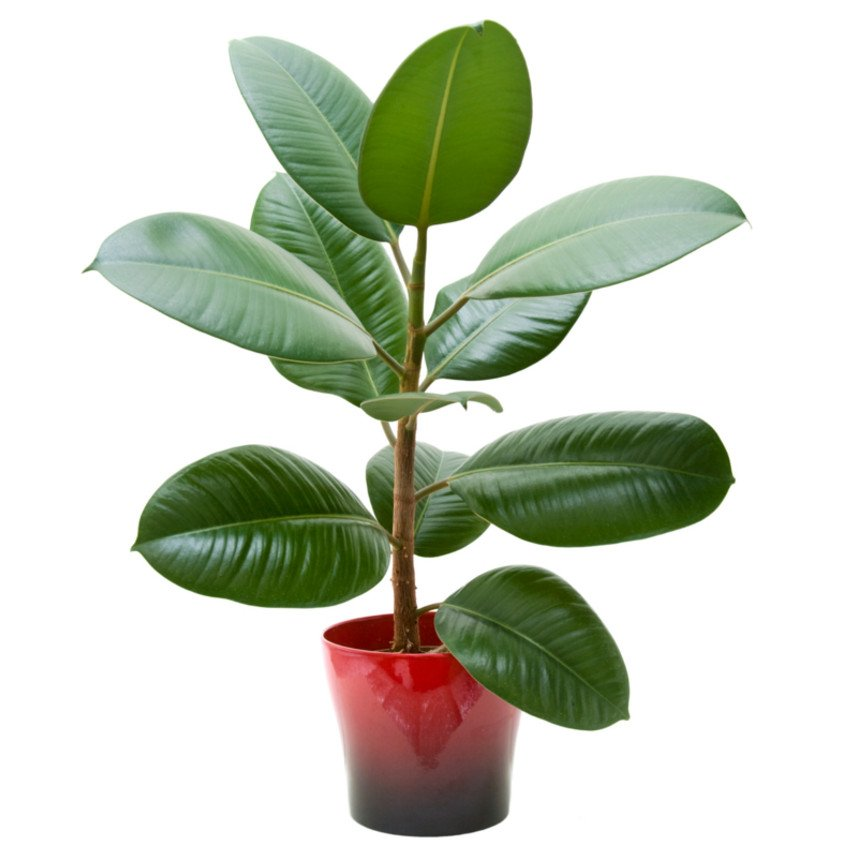 Árvore-da-borracha (Ficus elastica)