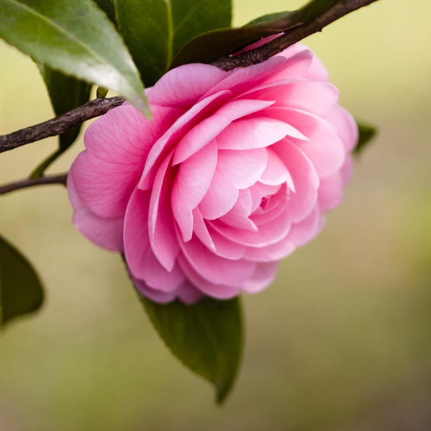 horóscopo das flores - Câncer