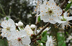ataques de pânico Cherry Plum