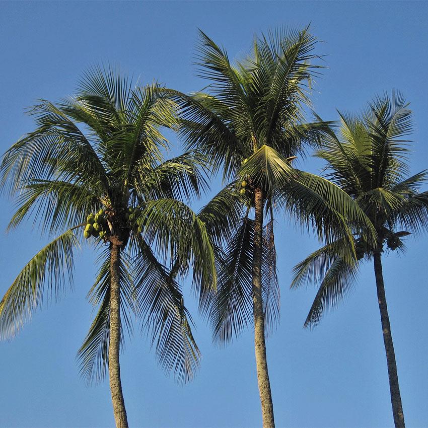 horóscopo das árvores Coqueiro (9 a 18 de fevereiro e 14 a 23 de agosto)