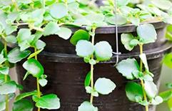 Plantas que trazem sorte e dinheiro: Dinheiro em penca
