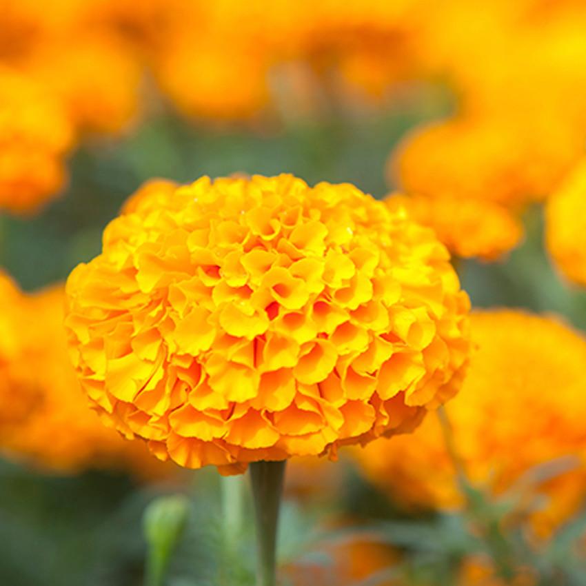 Horoscope des fleurs SCORPION