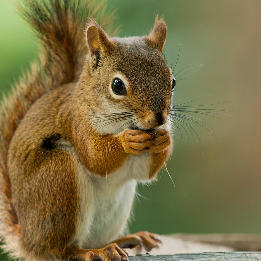 Esquilo (nascidos entre 21 de junho e 21 de julho)