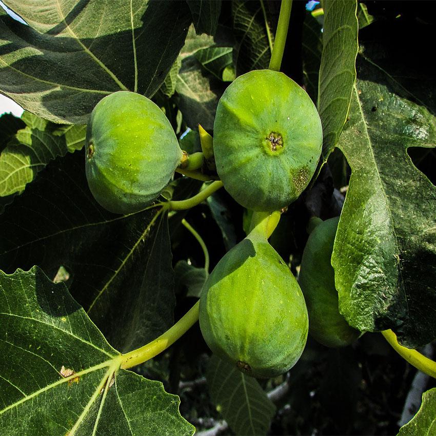 horóscopo das árvores Figueira (14 a 20 de junho e 12 a 20 de dezembro)