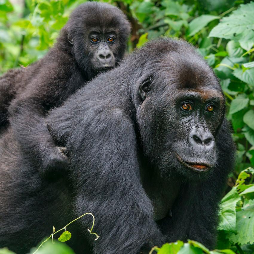 Gorila – De 10 de janeiro e 6 de fevereiro
