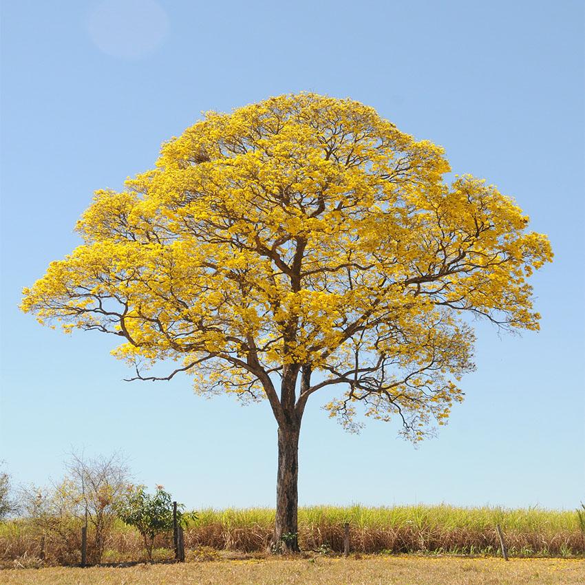 horóscopo das árvores Ipê (21 de junho)