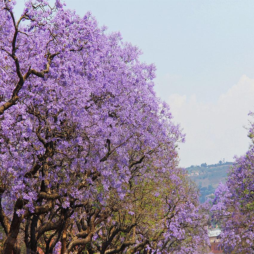 horóscopo das árvores Jacarandá (21 de dezembro)