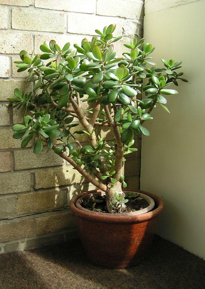 plantas que atraem riqueza