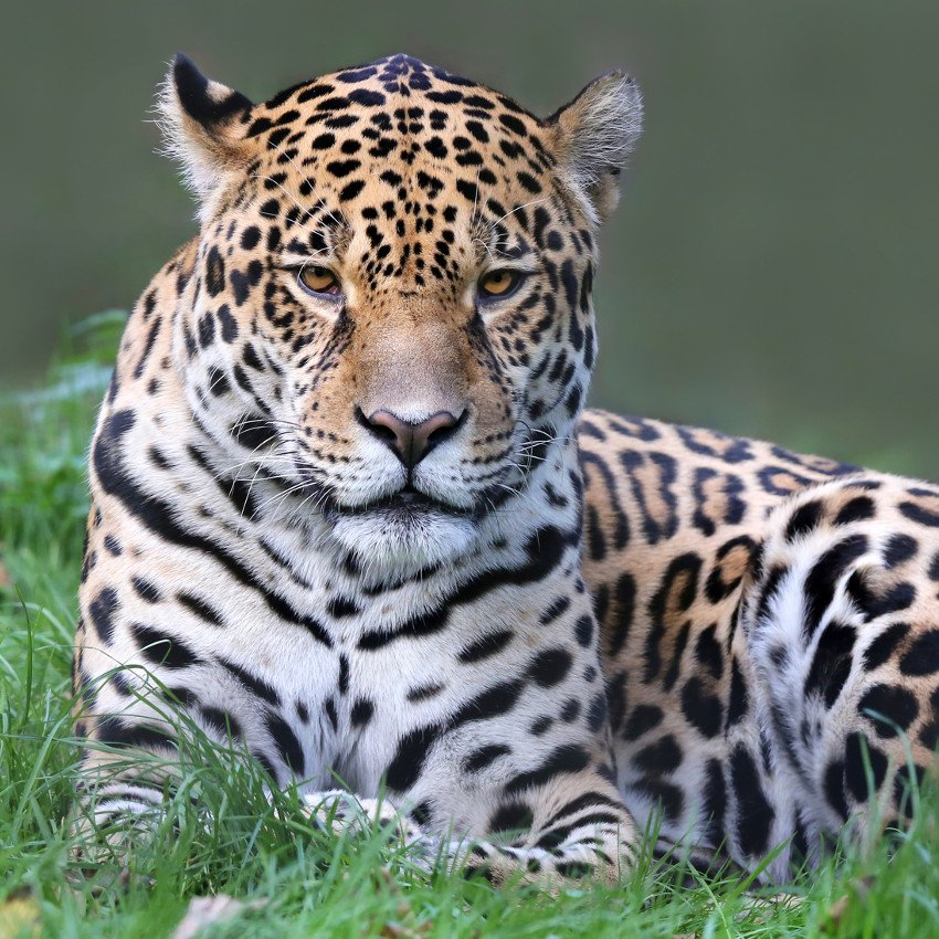 Jaguar  – De 7 de março a 3 de abril