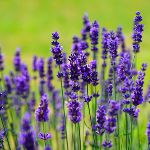 Incenso de Lavanda