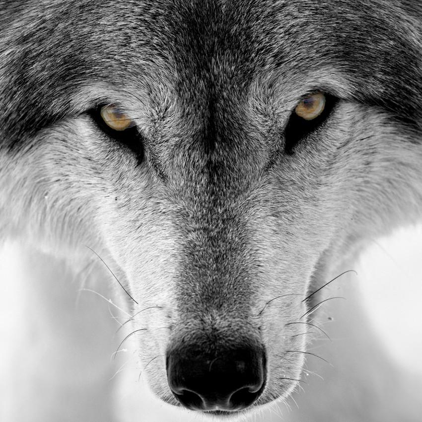 Lobo (nascidos entre 22 de dezembro e 20 de janeiro)