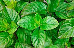 Plantas que trazem sorte e dinheiro: Manjericão